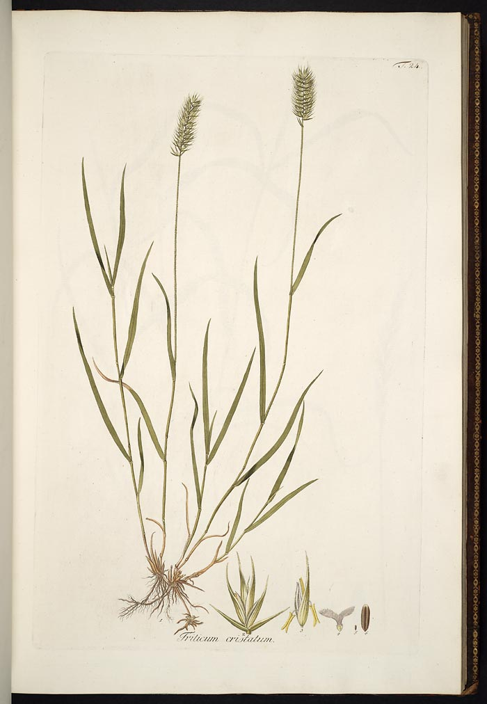 Botanical illustration showing full plants, including dense seedhead, leaf blades, and roots