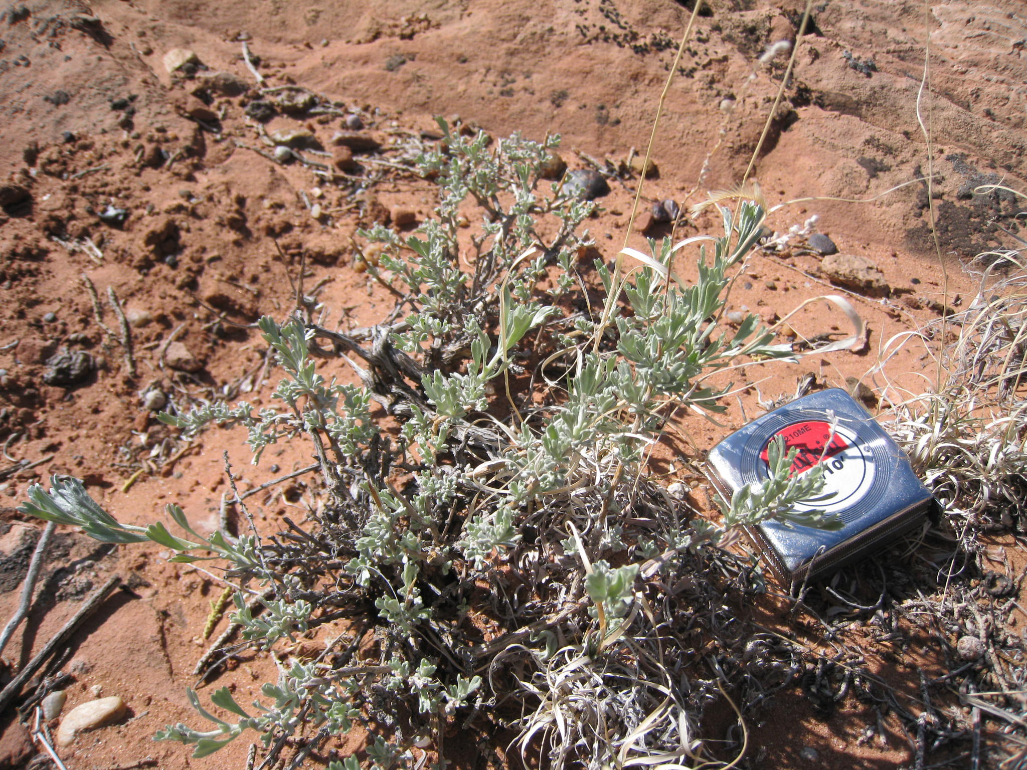 Bigelow sagebrush with tape measure, which show relatively small stature of this dwarf sagebrush