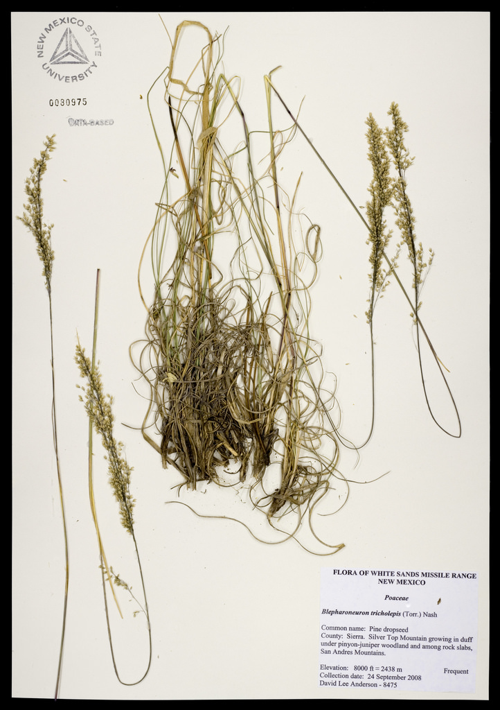 Herbarium specimen showing bunch habit of this grass, as well as the delicately seeded panicles