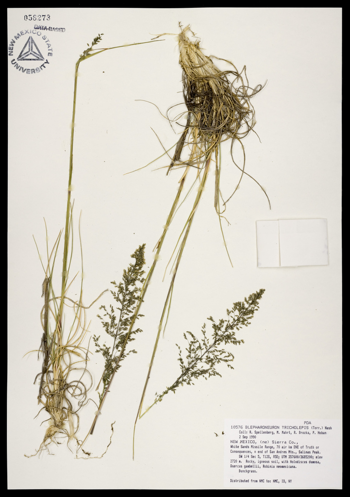 Herbarium specimen showing panicles with their delicate, loose spikelets and seeds