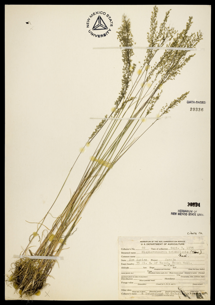Herbarium specimen showing slightly different panicle shape, which is less spreading but still feathery