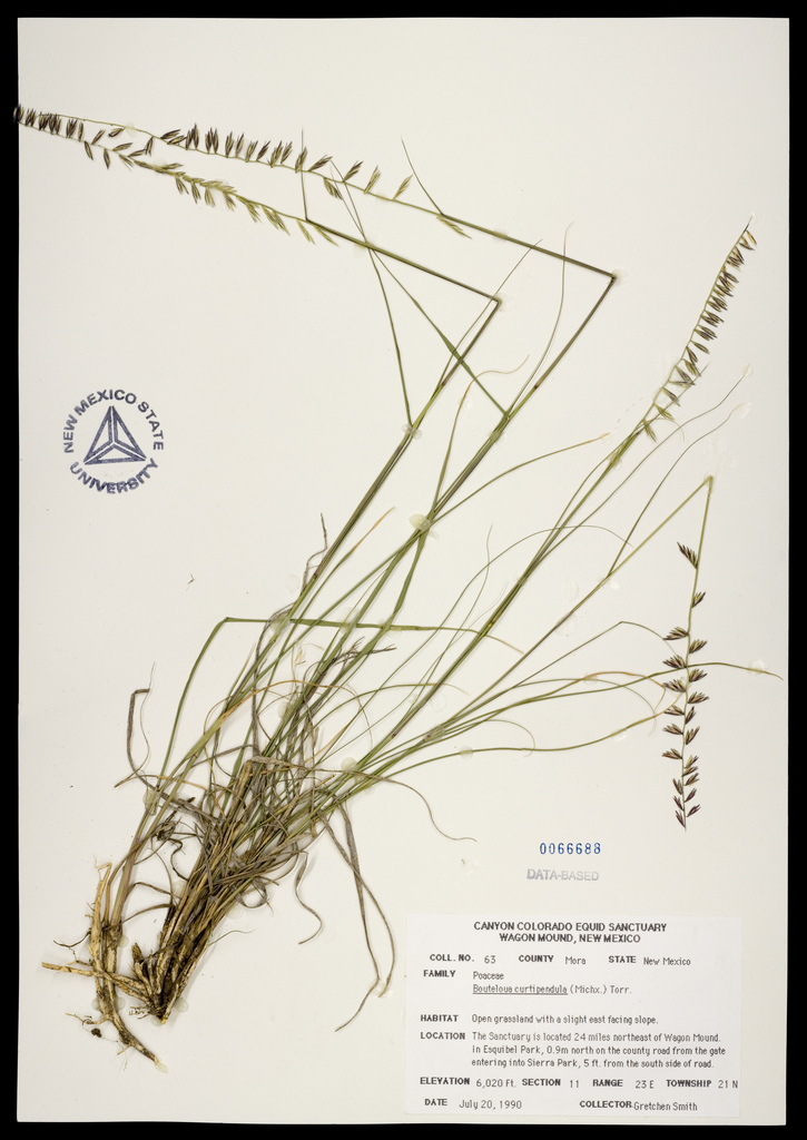 Herbarium specimen showing root clumps, stalks, and distinctive seedheads