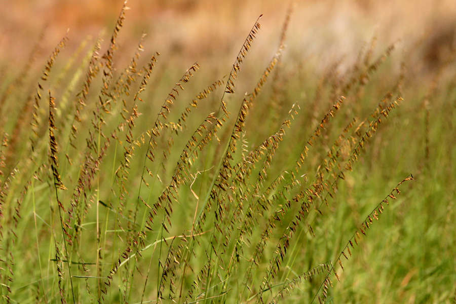 A swath of sideoats grama with spikes along stems