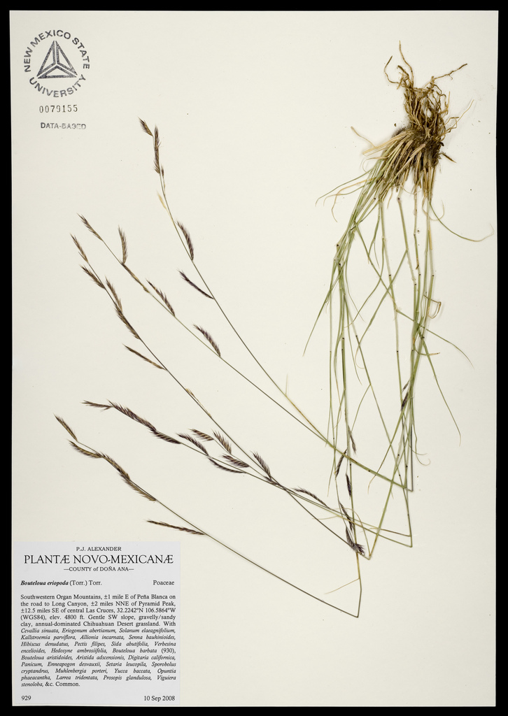 Herbarium specimen showing slender stems and seedheads as well as roots