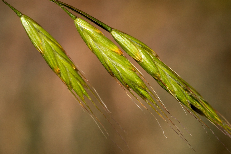 Green spikelets with closely appended seeds and protruding awns