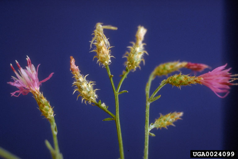 Blooms at various stages, with showy petals in full bloom and with dry, somewhat spiny looking involucres as they dry