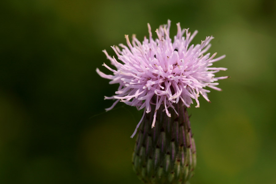 Fluffy pink top of the flower with involucre shaped like a vase beneath