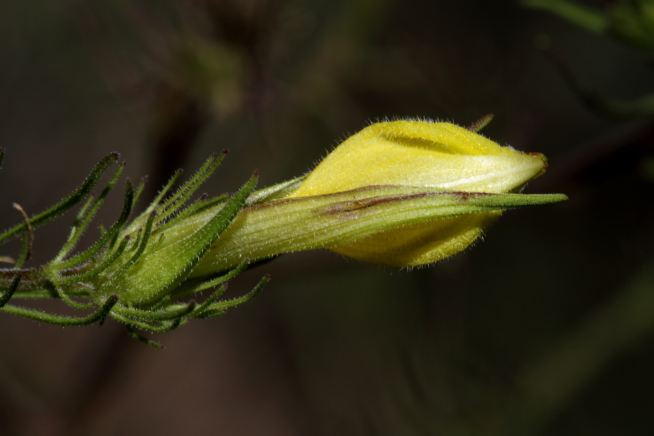 Yellow flower with sepals partially covering it