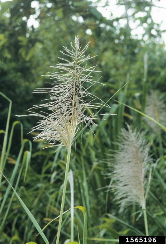Inflorescence of pampas grass are light and feathery and much larger than those of many other grasses