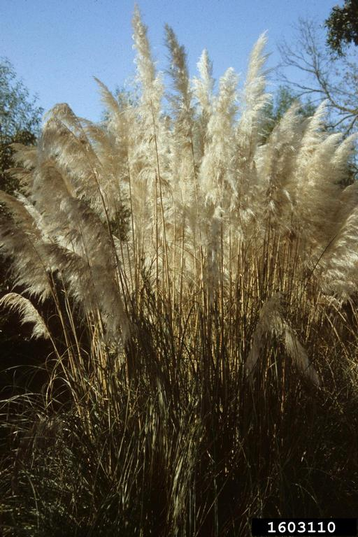 Stems of pampas grass clustered densely with luxuriant, whitish inflorescences filling out the tops of the stems. Seedheads can also have a lavender cast to them.