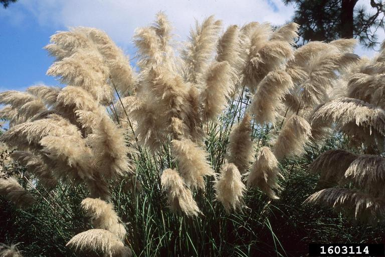 This clump of pampas grass shows the tall, dark green leaf blades