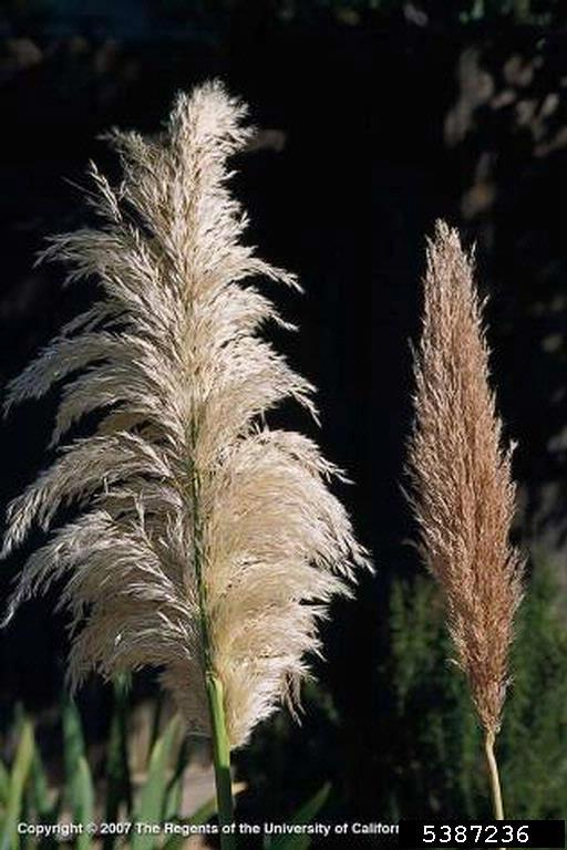 Two examples of inflorescences, female and male. Female flowers are lighter and more feathery. Male inflorescence is a light brown with a much more compact profile.