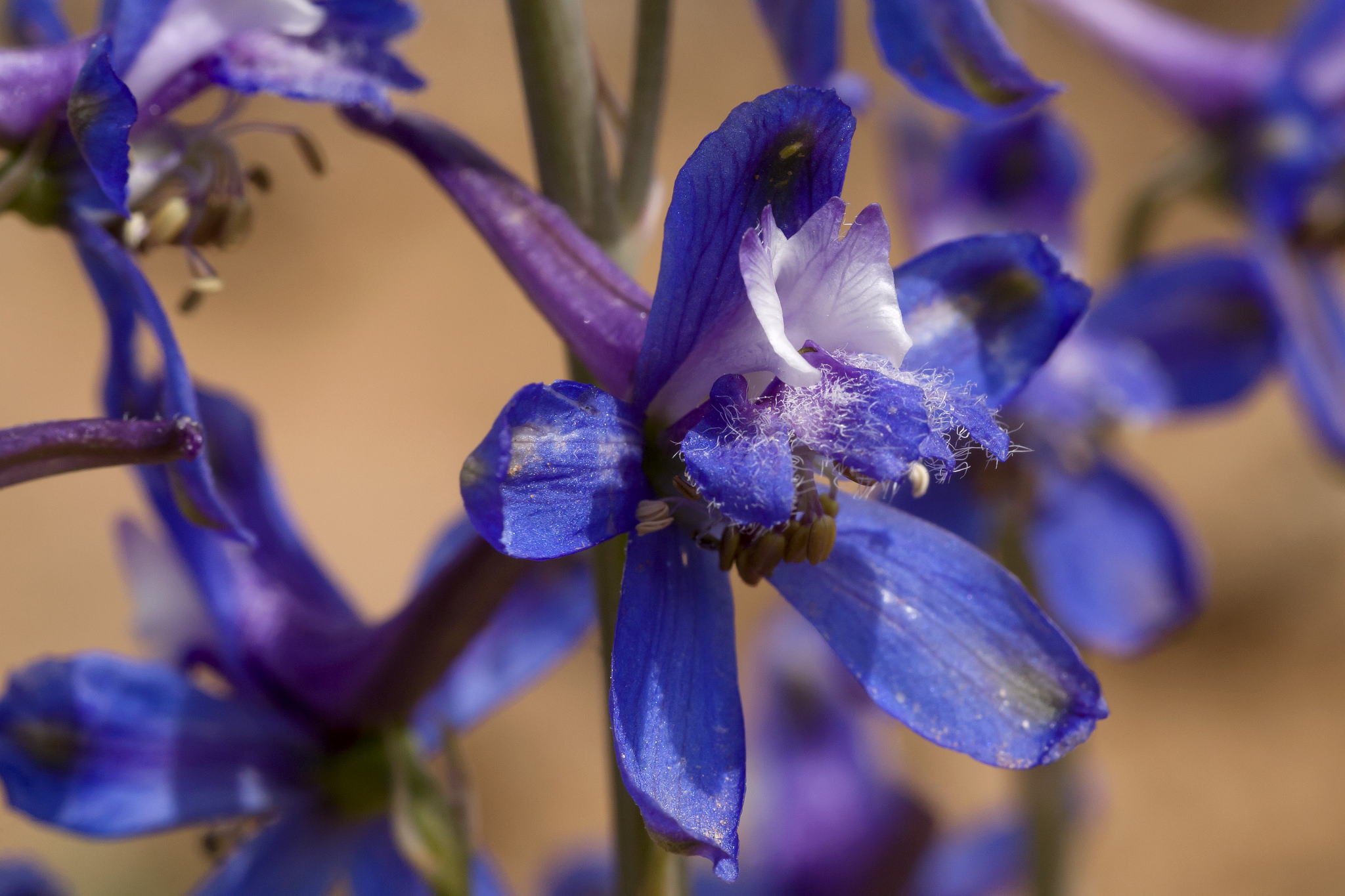 Close-up of Delphinium scaposum showing complex floral parts and fuzz on one of the petals