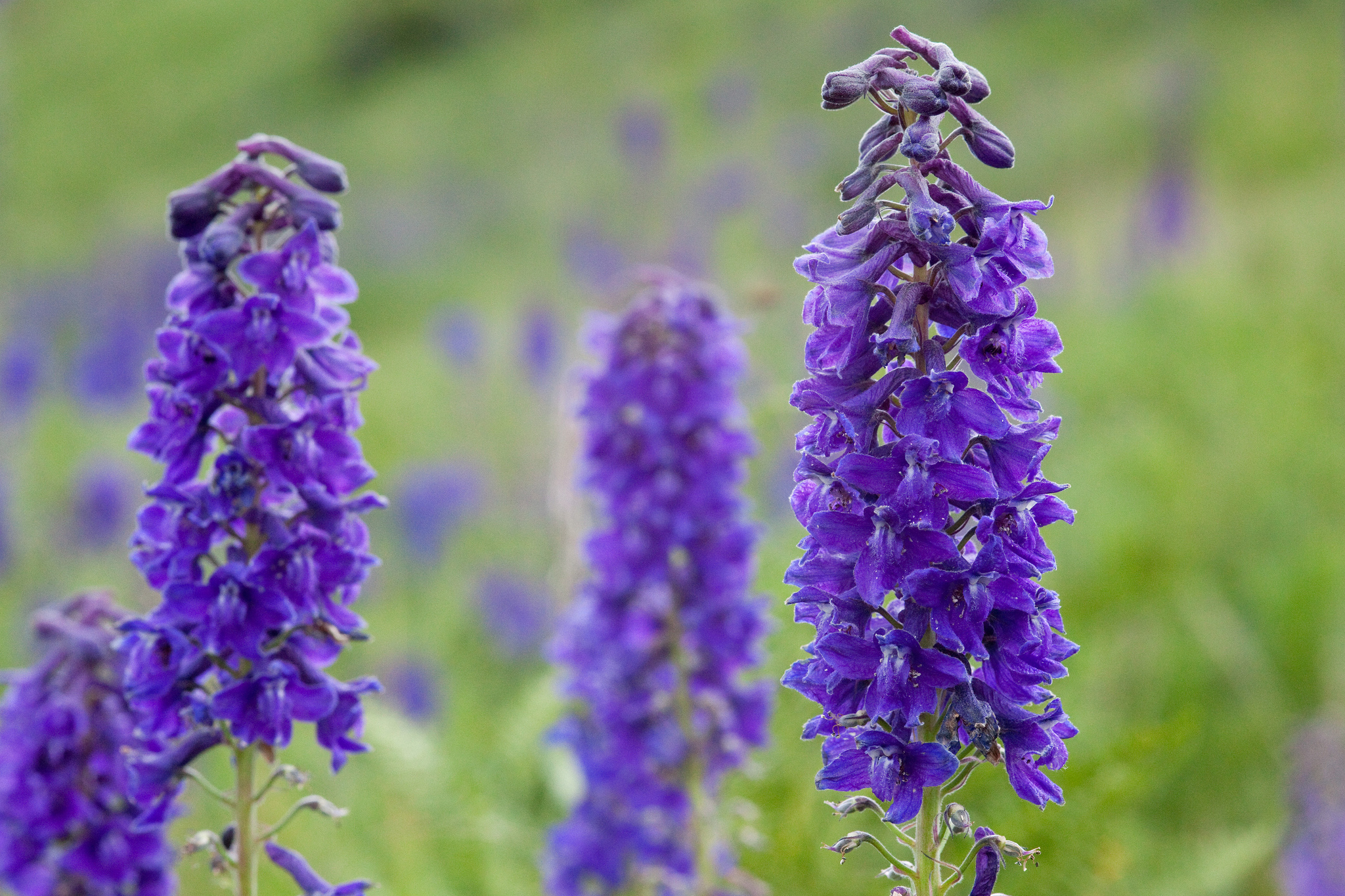 Delphinium geraniifolium with racemes of densely clustered purple flowers