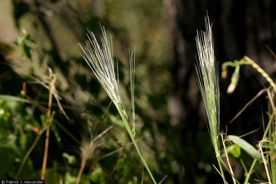 Bushy shape of seedheads, which gives this grass its name. The bristly appearance is due to the awns.