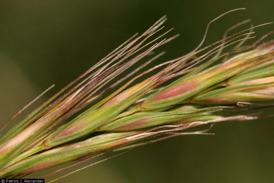 Red-tinged seeds and awns aligned along spike