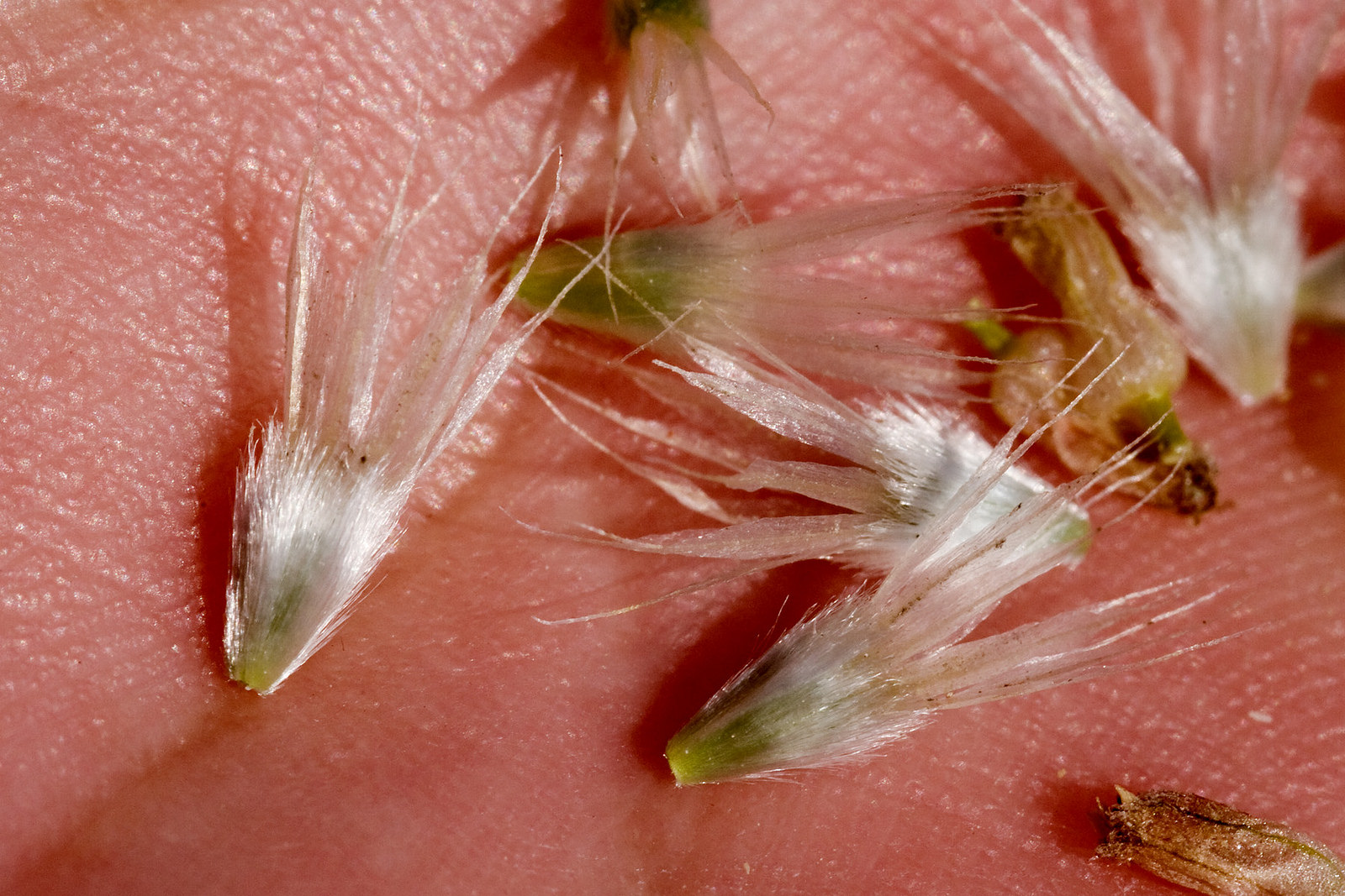 Seeds with white tufts at the ends