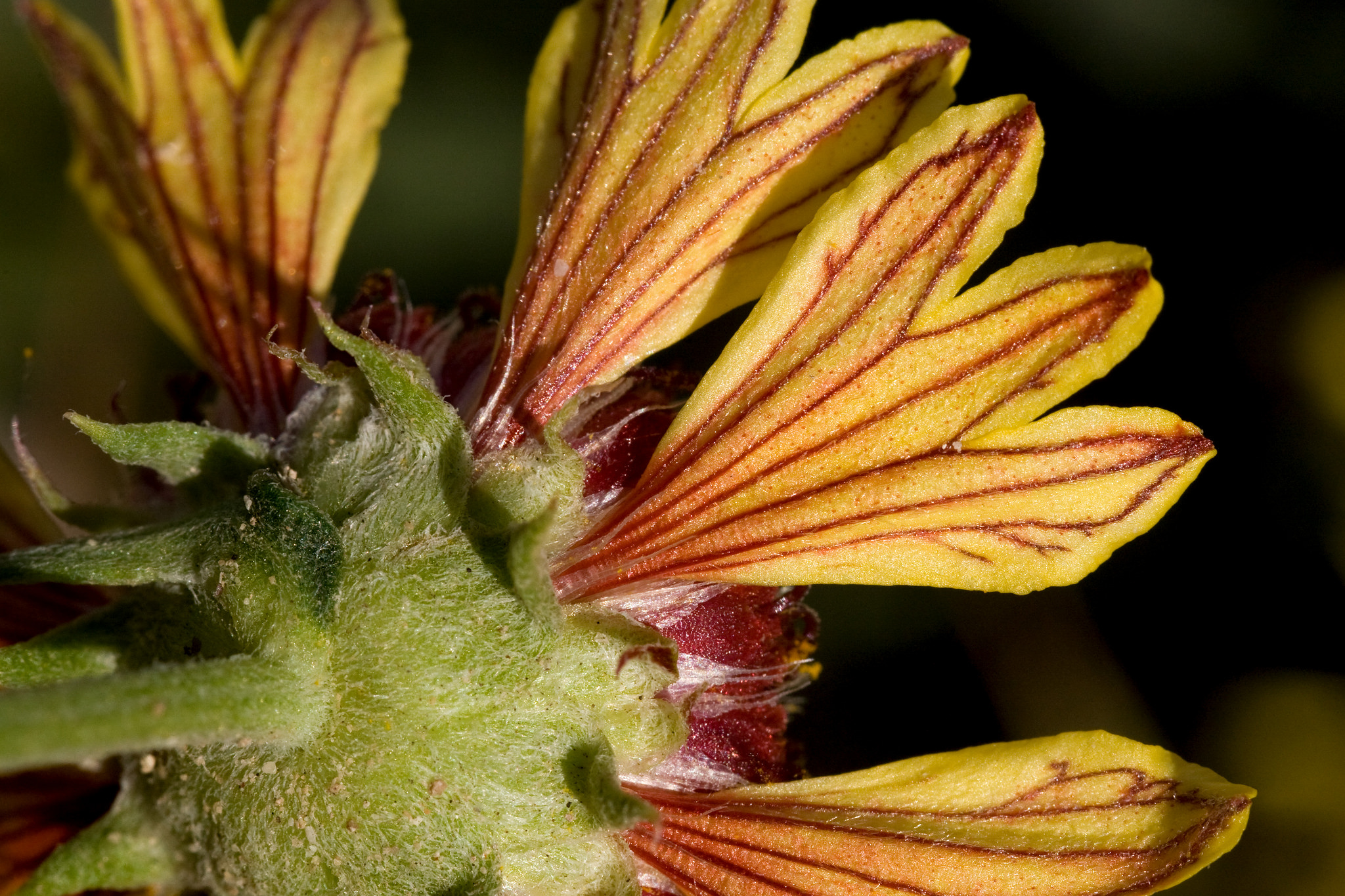 One example of a petal coloration: yellow tridentate petals with red veins