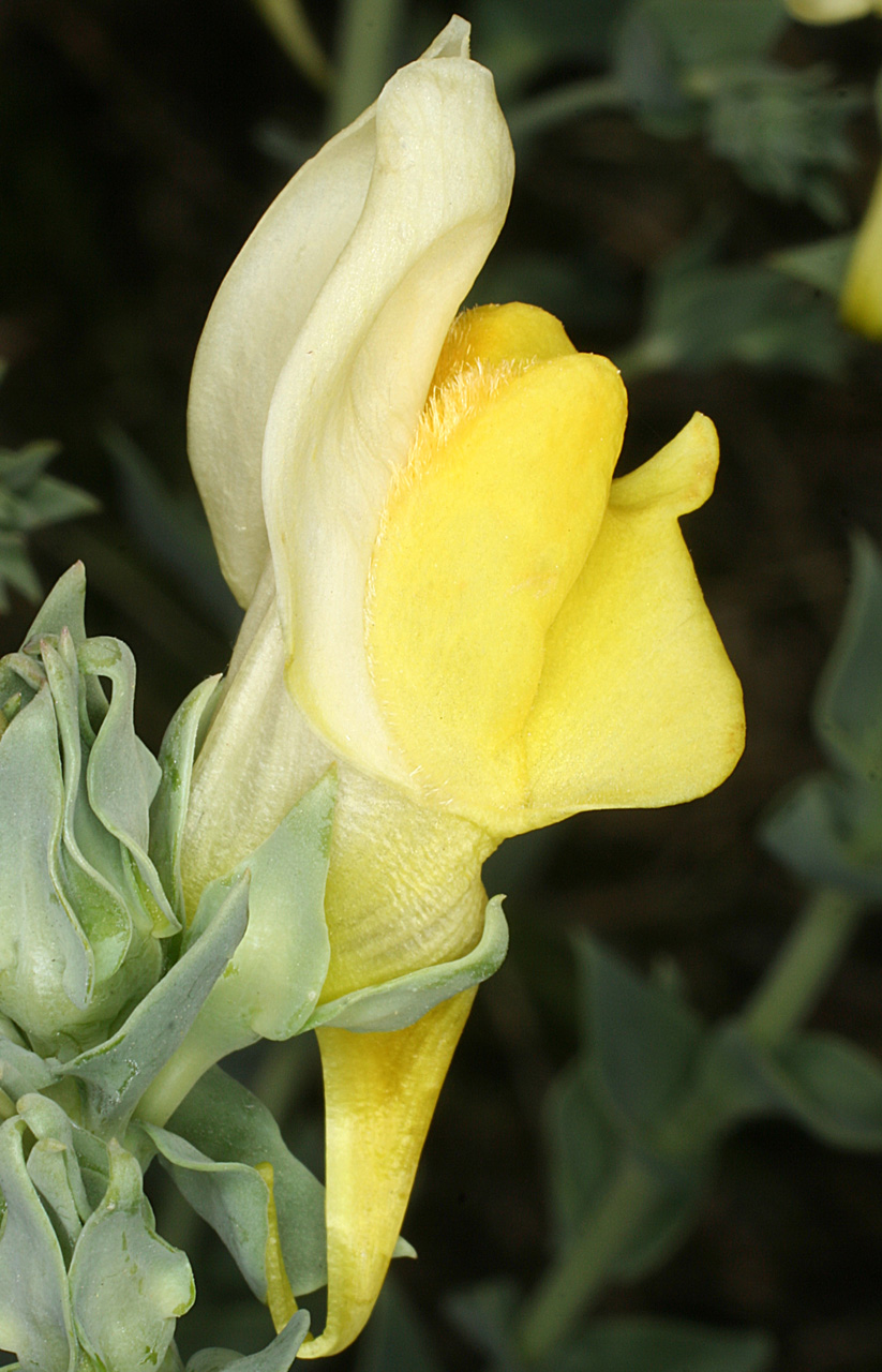 Close-up of a flower, showing creamy yellow coloration and  distinctive shape
