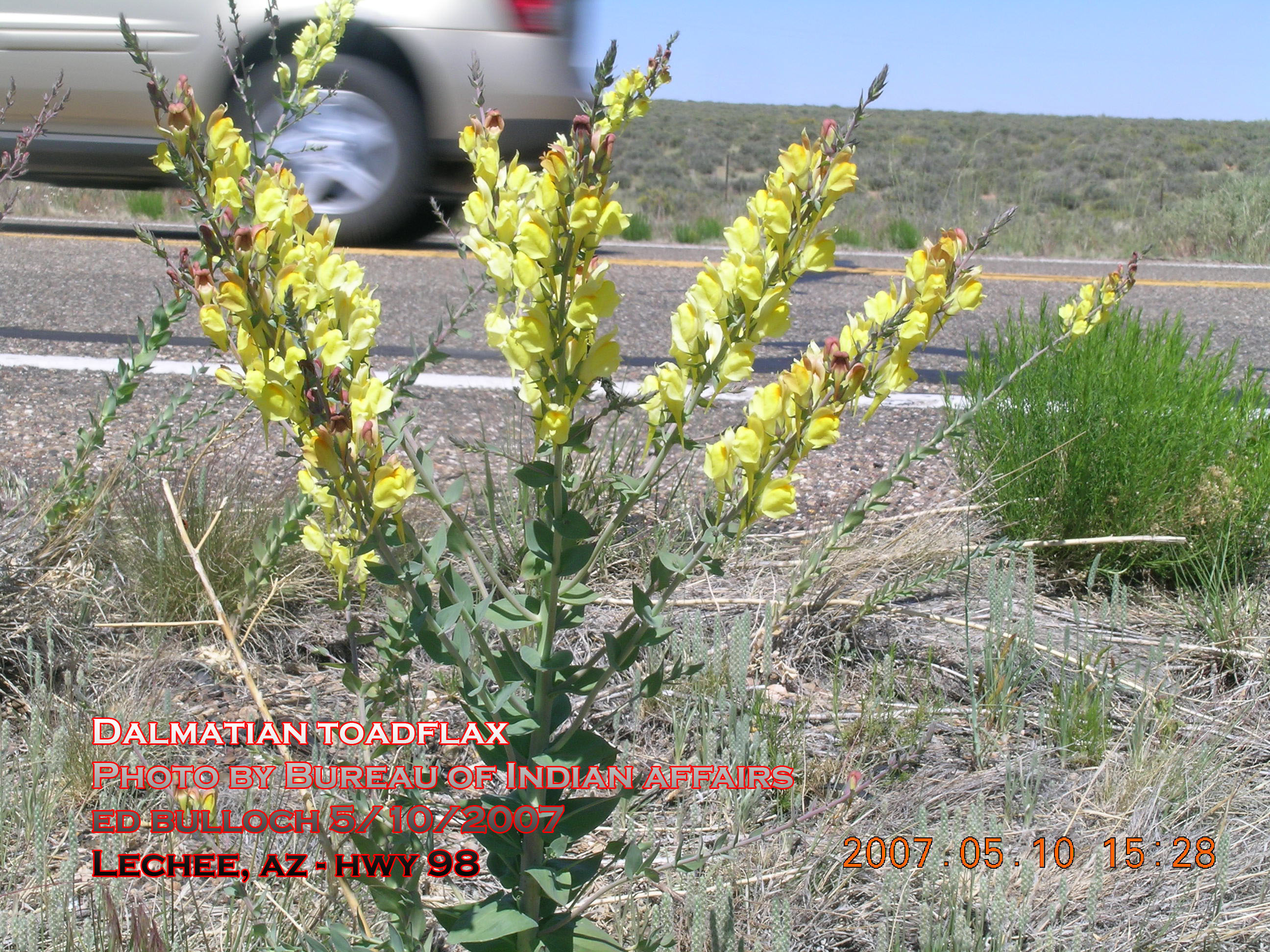 Plant growing roadside, displaying weedy tendencies
