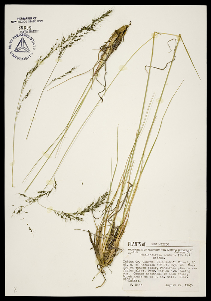 Herbarium specimen showing base of plant, stems, and inflorescence