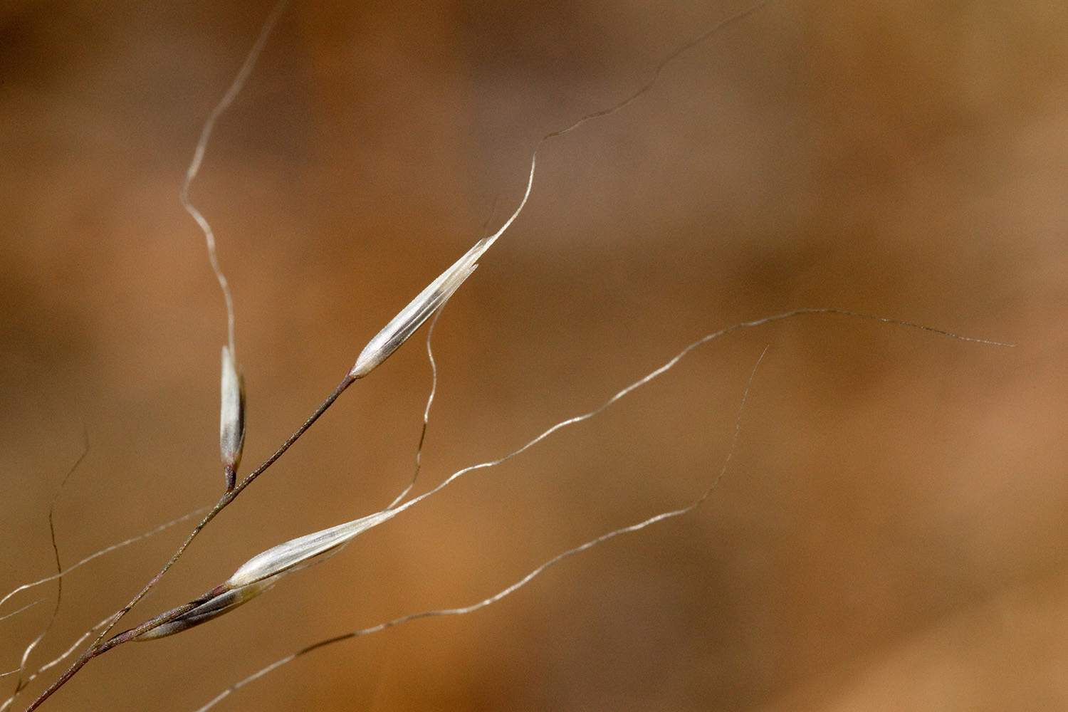 Close-up of seeds, which are very wispy with long awns