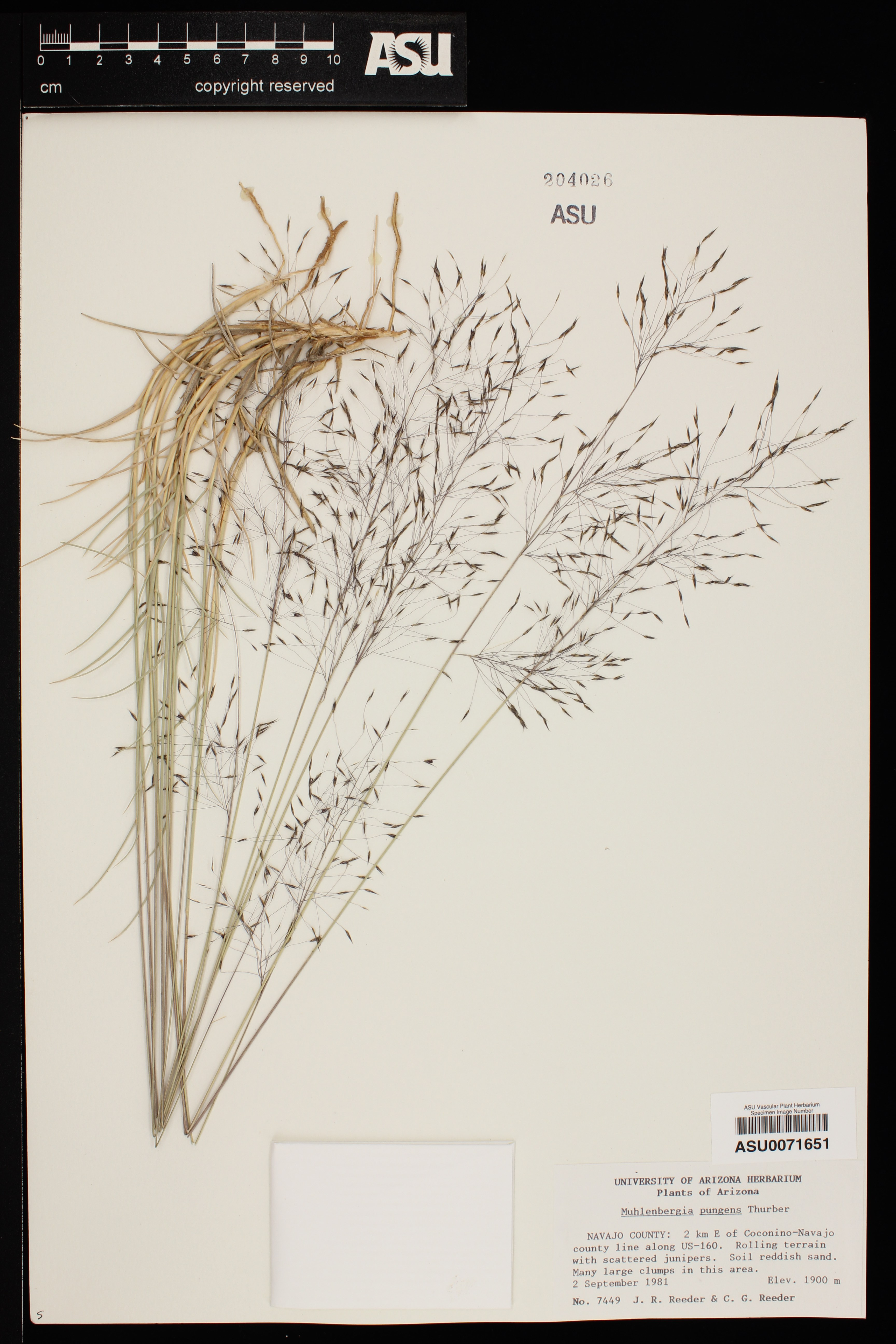 Herbarium photo of a clump of grass showing leaves and copious seedheads
