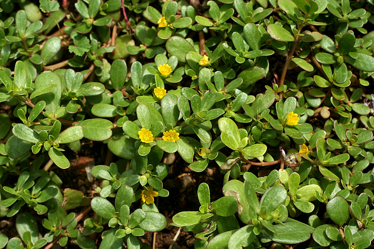 Low growth habit, close-up of bright green, shiny herb with round elliptical leaves and yellow flowers.