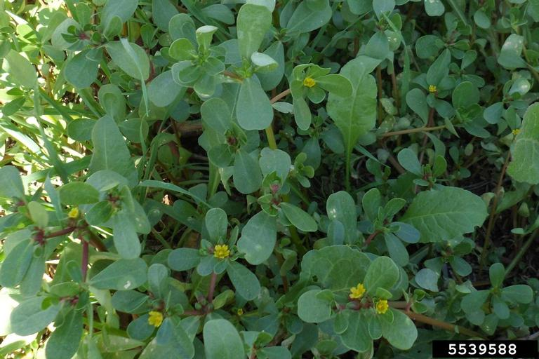 Dense foliage with small yellow flowers