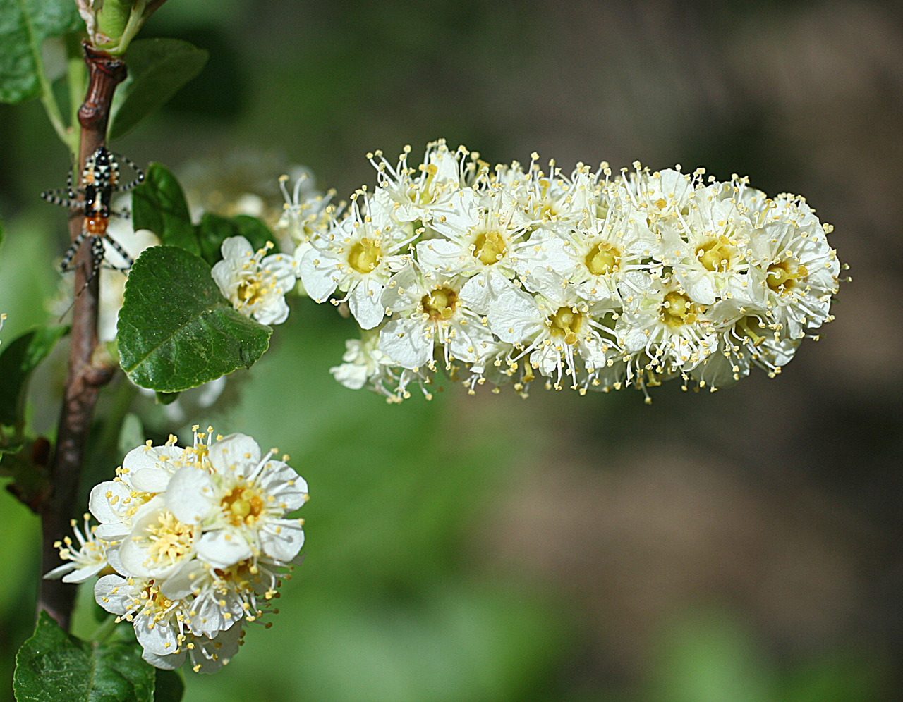 White flowers in a dense cluster