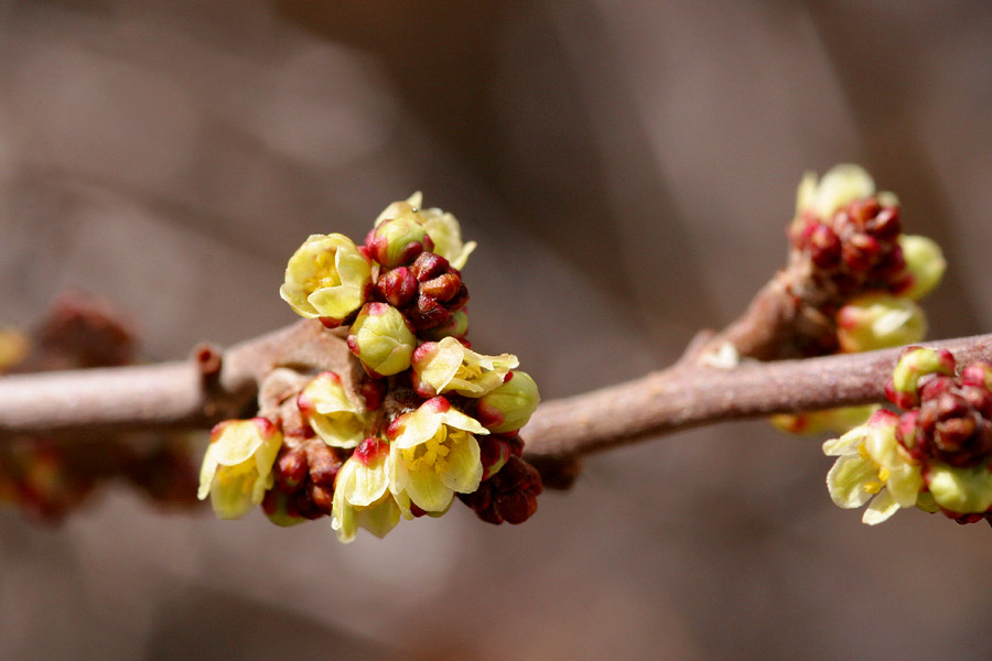 Clustered closely on this twig, tiny red buds open to reveal yellow blossoms. Red bracts remain at the base of the flower.