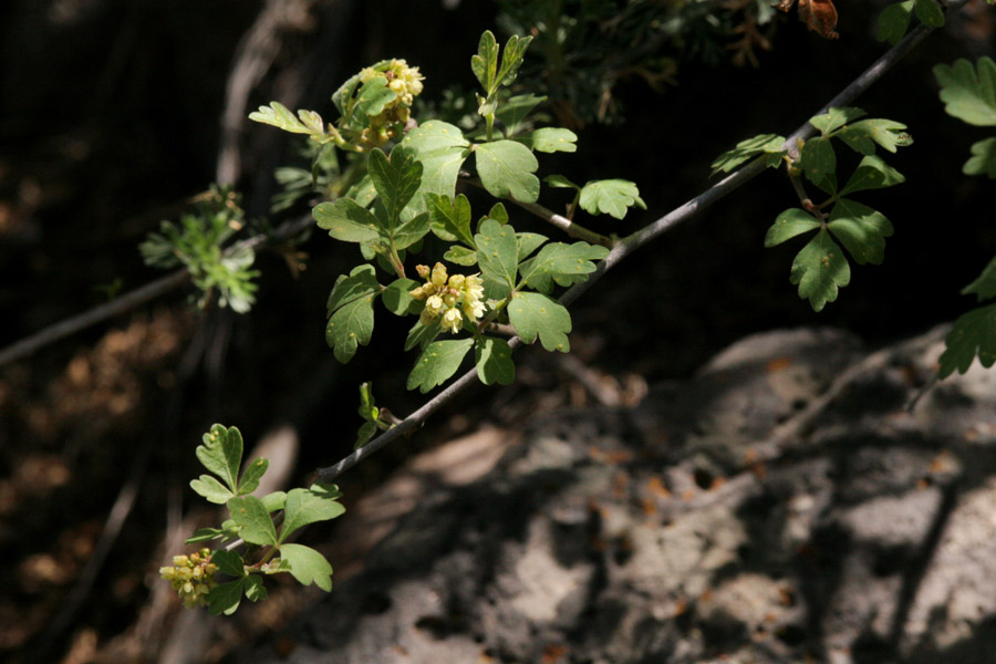 Leaves and flowers on twigs. Foliage is not densely packed on the twig.