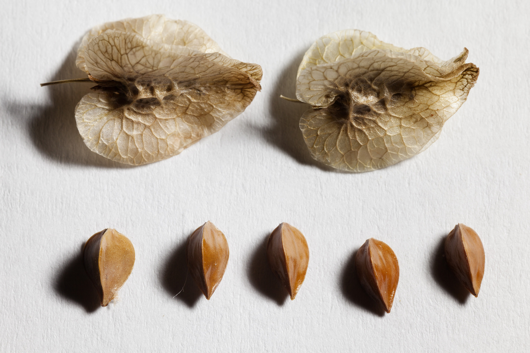 Seeds, which have a papery covering formed from the dried sepals of the flower