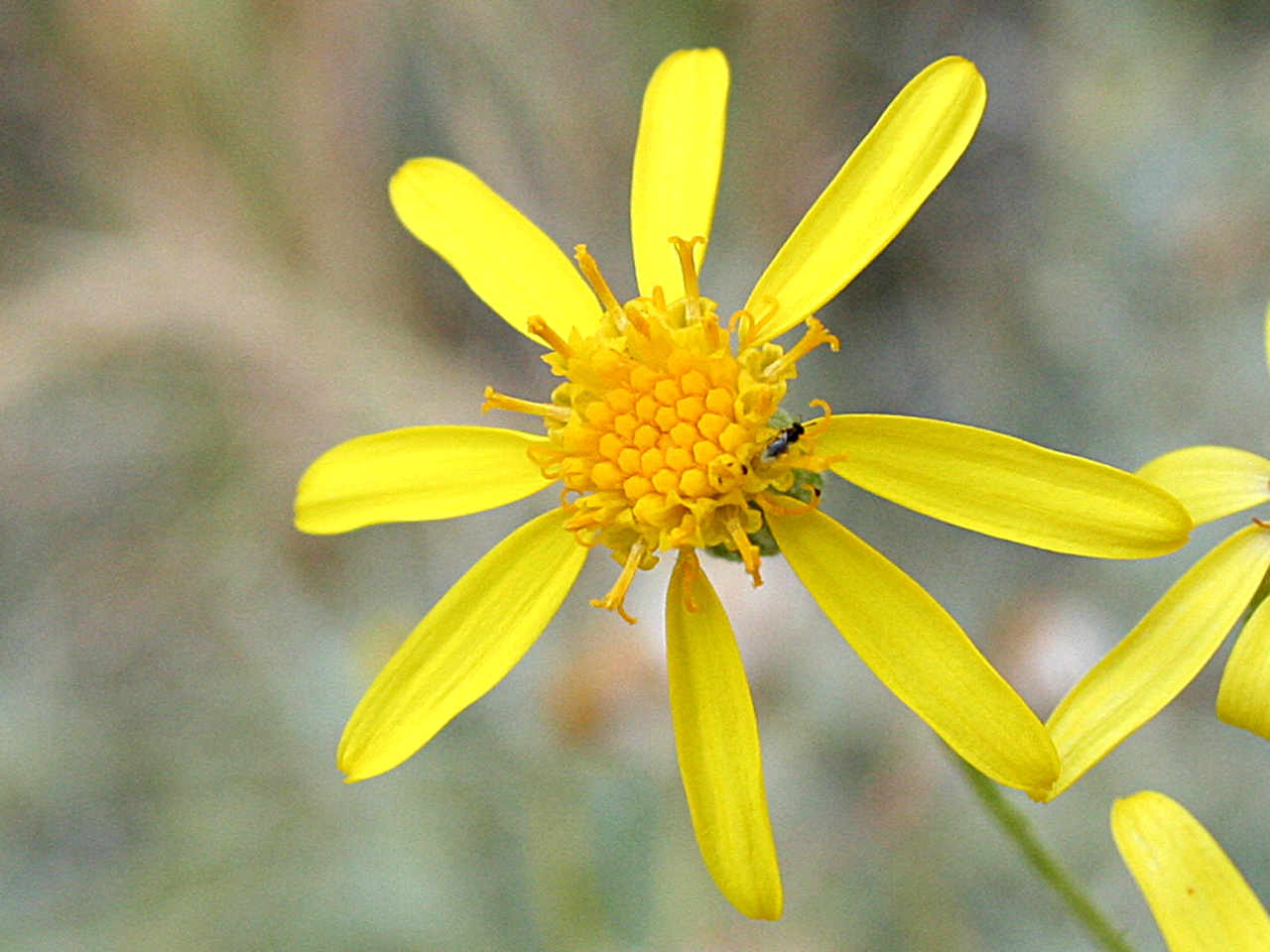 Dense, dark yellow central disk flowers and lighter yellow, sparsely arranged rays