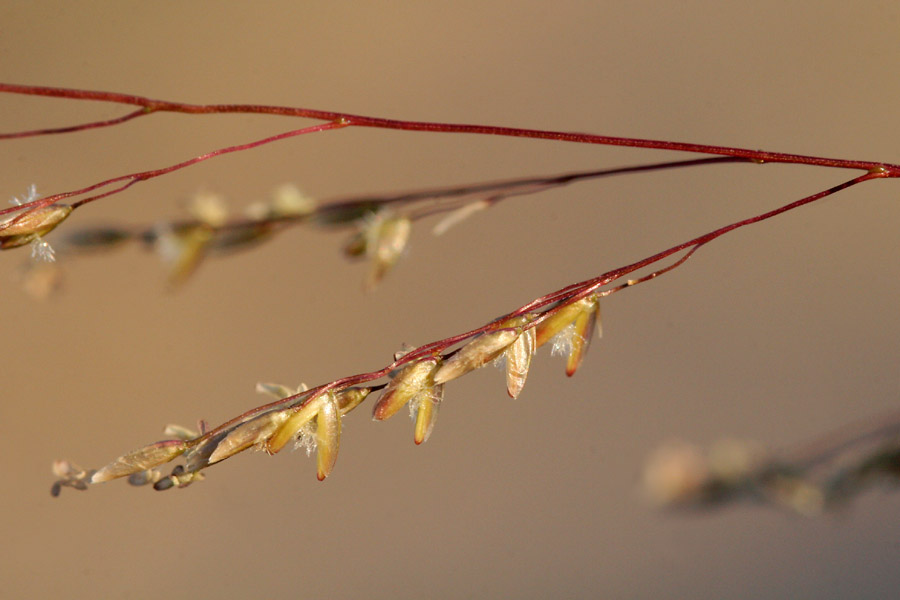 Seeds clinging to the delicate branches of the seedhead
