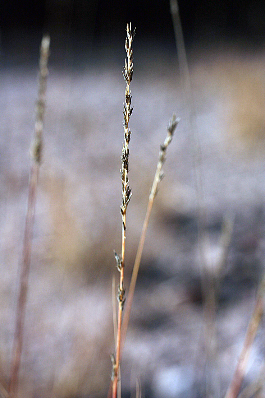 Dry spikelet showing the interrupted pattern of seeds along the axis