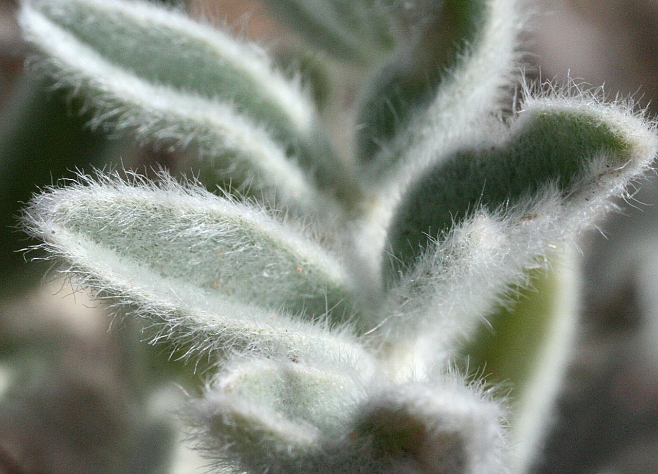 Wooly foliage, which has a greenish-silver coloration